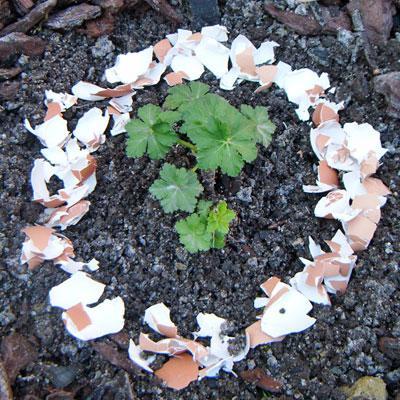 Rem de naturel num ro 13 contre les limaces les coquilles d 39 oeuf gamm vert - Coquille d oeuf dans le jardin ...