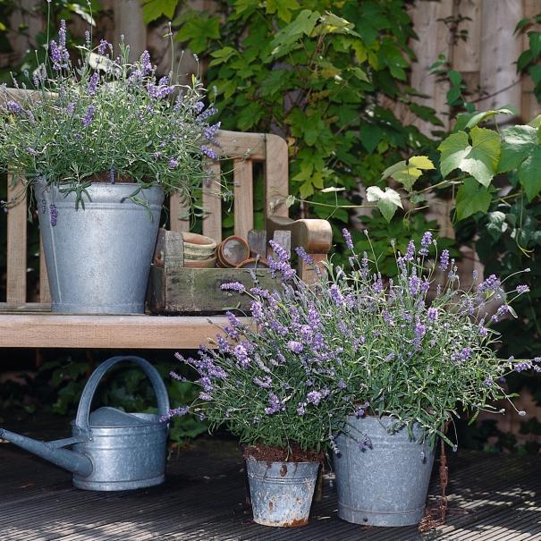 planter la lavande en pot le magazine gamm vert. Black Bedroom Furniture Sets. Home Design Ideas