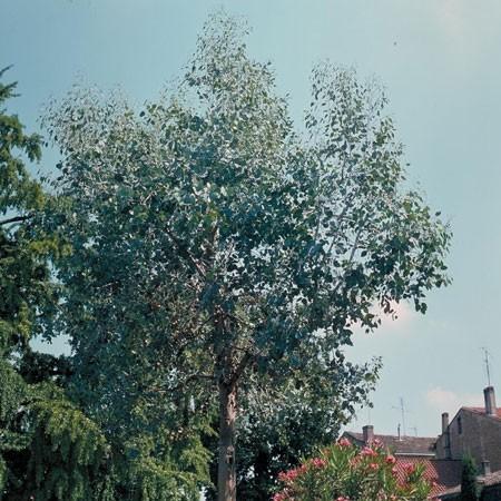 Entretien de l 39 eucalyptus gamm vert for Entretien jardin printemps