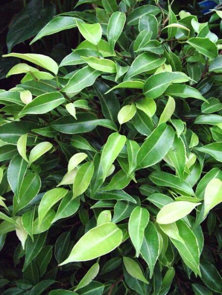 Mon ficus perd ses feuilles gamm vert - Poinsettia perd ses feuilles ...