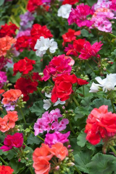 Entretien des g raniums de balcon le magazine gamm vert for Comment arroser les geraniums