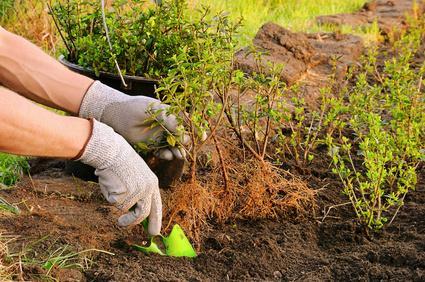 Planter en racines nues gamm vert for Plante 6 mois