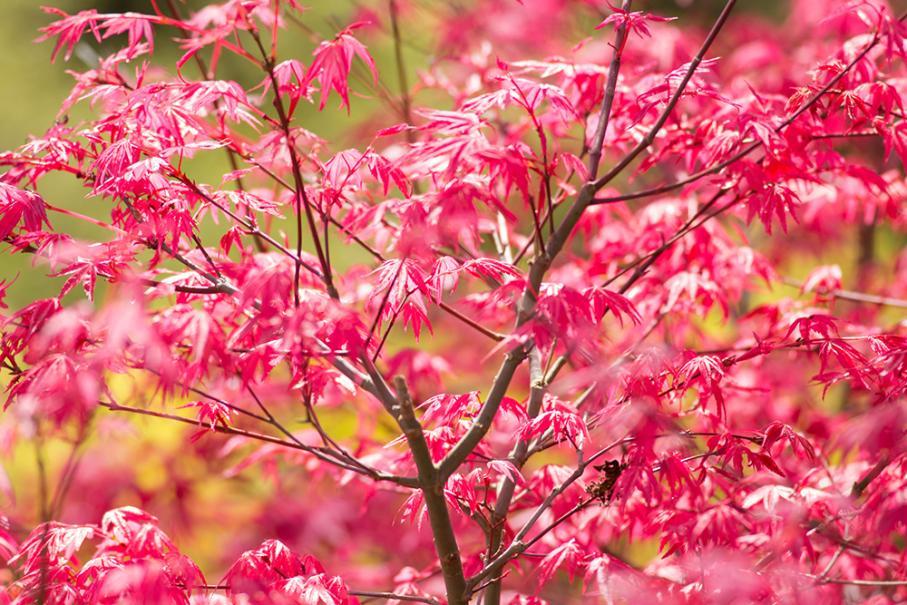 5 plantes pour un jardin japonais gamm vert for Beaux arbres de jardin