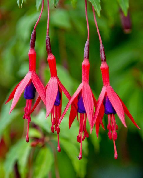 Fuchsia le magazine gamm vert for Plante exterieur toute saison