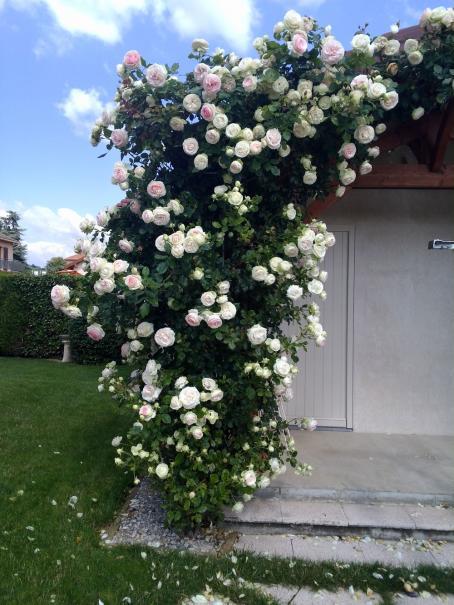Planter un rosier grimpant | Gamm vert