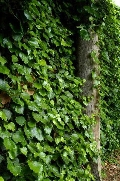 Tailler le lierre gamm vert - Comment se debarrasser du lierre ...