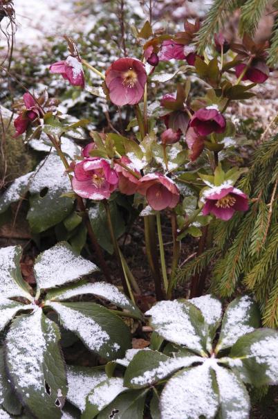 les 10 plus belles fleurs de l 39 hiver le magazine gamm vert. Black Bedroom Furniture Sets. Home Design Ideas