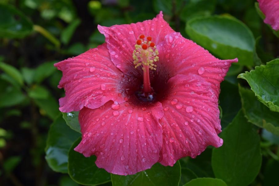 Mon hibiscus d\'intérieur a des feuilles jaunes | Gamm vert