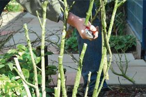 Taille des hibiscus | Gamm vert