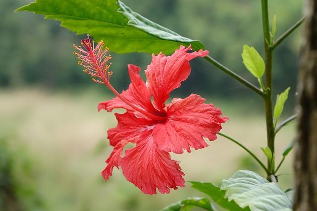 Le meilleur emplacement pour l\'hibiscus d\'intérieur | Gamm vert