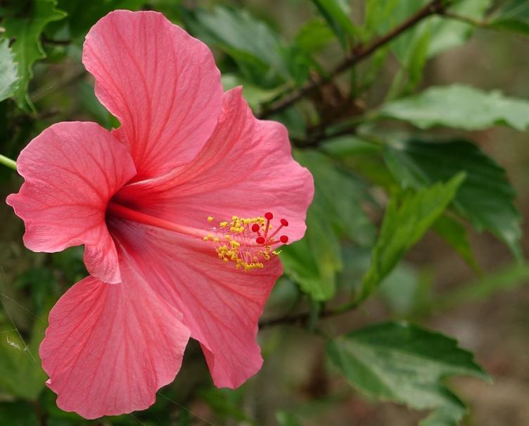 8 astuces pour bien soigner ses hibiscus d\'intérieur | Gamm vert