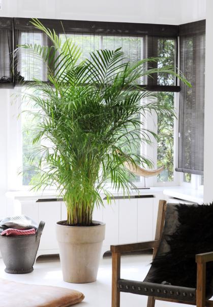 Plantes d 39 int rieur voyez xxl le magazine gamm vert for Maladie palmier interieur