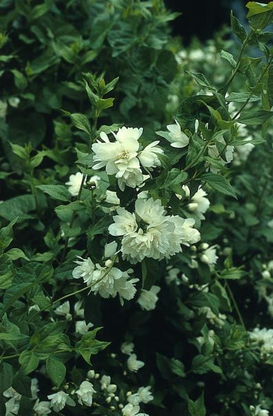 Seringat ou jasmin des po tes plante d 39 ext rieur gamm vert for Plante blanche exterieur