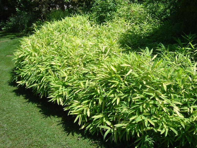 Les bambous au jardin le magazine gamm vert for Au jardin conseil