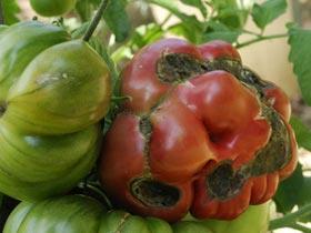 Maladies de la tomate le magazine gamm vert - Maladie pied de tomate ...