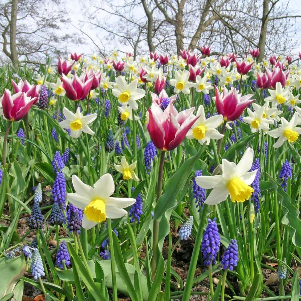 Planter les bulbes de printemps crocus perce neige tulipe le magazine gamm vert - Quand planter les bulbes de tulipes et jonquilles ...
