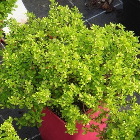 berb ris plante d 39 ext rieur gamm vert. Black Bedroom Furniture Sets. Home Design Ideas