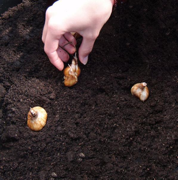 bulbes planter 224 la bonne profondeur le magazine gamm vert