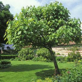 quelques plantes grand spectacle mimosa palmier eucalyptus le magazine gamm vert. Black Bedroom Furniture Sets. Home Design Ideas
