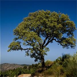 5 graines fraîches de chêne pédonculé fastigié Quercus robur fastigata