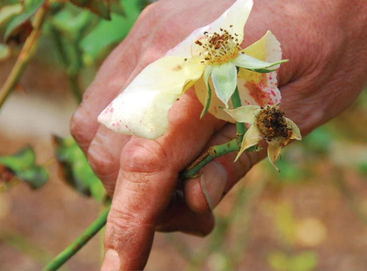 Supprimer les fleurs fanées des rosiers