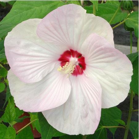 Un hibiscus à fleurs géantes | Gamm vert