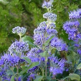 Caryopt ris plante d 39 ext rieur gamm vert for Plante fleurie exterieur vivace