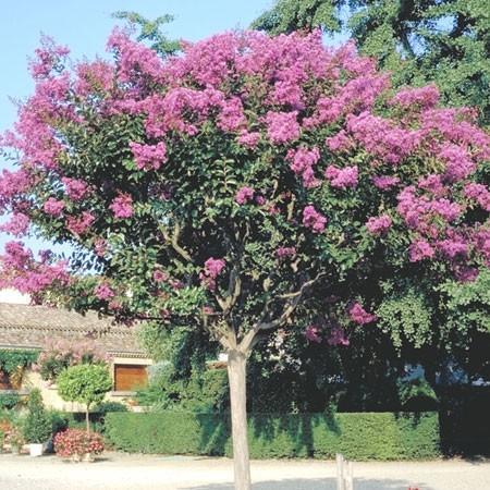 Planter le lagerstroemia le magazine gamm vert - Le lilas des indes ...