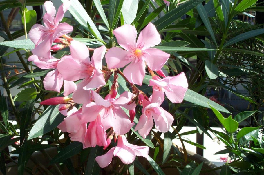 Planter un laurier rose le magazine gamm vert for Quand rempoter un laurier rose