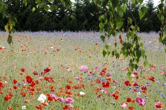 Prairie fleurie : semis, entretien | Gamm vert