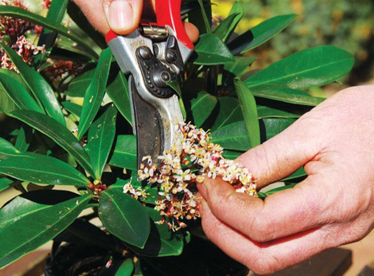 Tailler les arbustes floraison printani re skimmia lilas forsythia le magazine - Taille des rosiers apres floraison ...