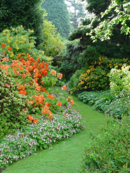incontestablement les azales et rhododendrons comptent parmi les plus beaux arbustes dornement en fait lazale est un rhododendron miniature - Planter Un Rhododendron Dans Votre Jardin