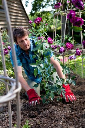le meilleur moment pour planter un rosier avec la lune gamm vert. Black Bedroom Furniture Sets. Home Design Ideas