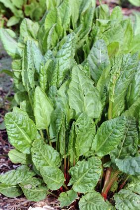 Semer et planter l 39 oseille le magazine gamm vert - Planter de l oseille ...