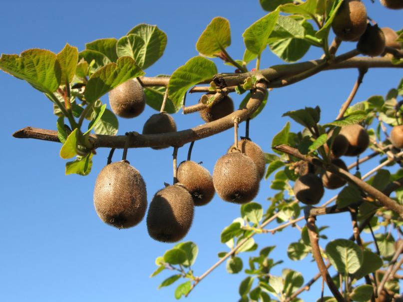 Planter le kiwi gamm vert - Comment planter des kiwis ...