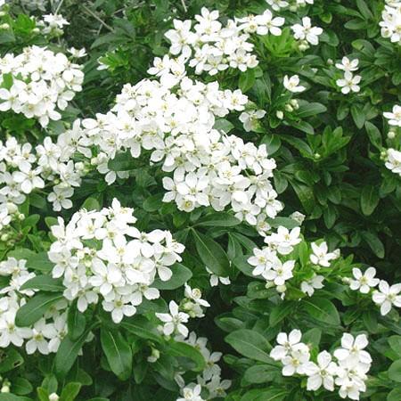 Planter un oranger du mexique le magazine gamm vert for Conseil plantation jardin