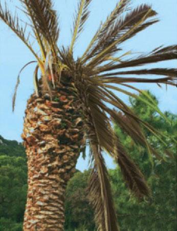 maladies du palmier gamm vert