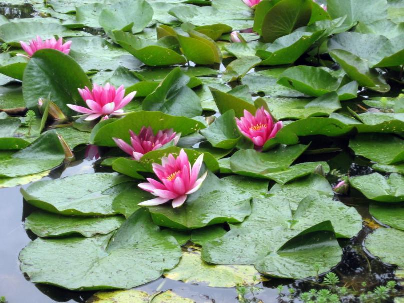 Coloriage Fleur De Nenuphar.Nenuphars Oppresses Gamm Vert