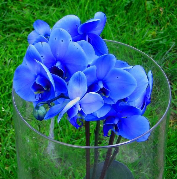 orchidee bleue origine