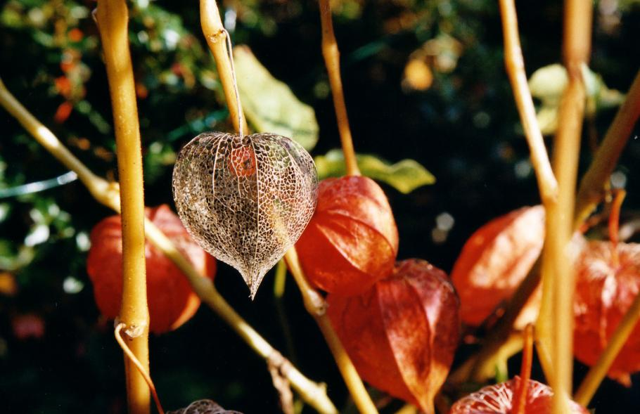 Semer et planter le physalis ou amour en cage le - Fruit amour en cage ...