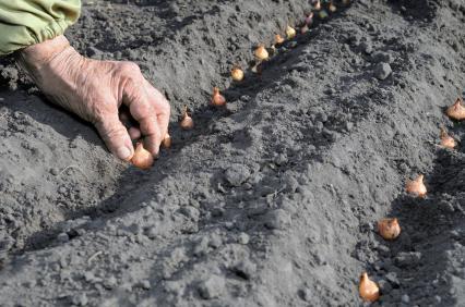 Planter ail, oignon, échalote | Gamm vert