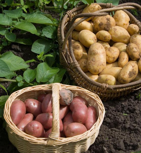 récolter les pommes de terre au bon moment | le magazine — gamm vert