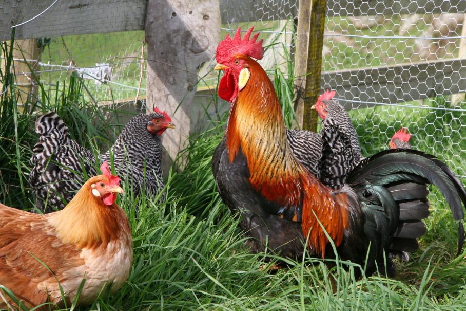 Bien soigner ses poules gamm vert for Bien nourrir ses poules