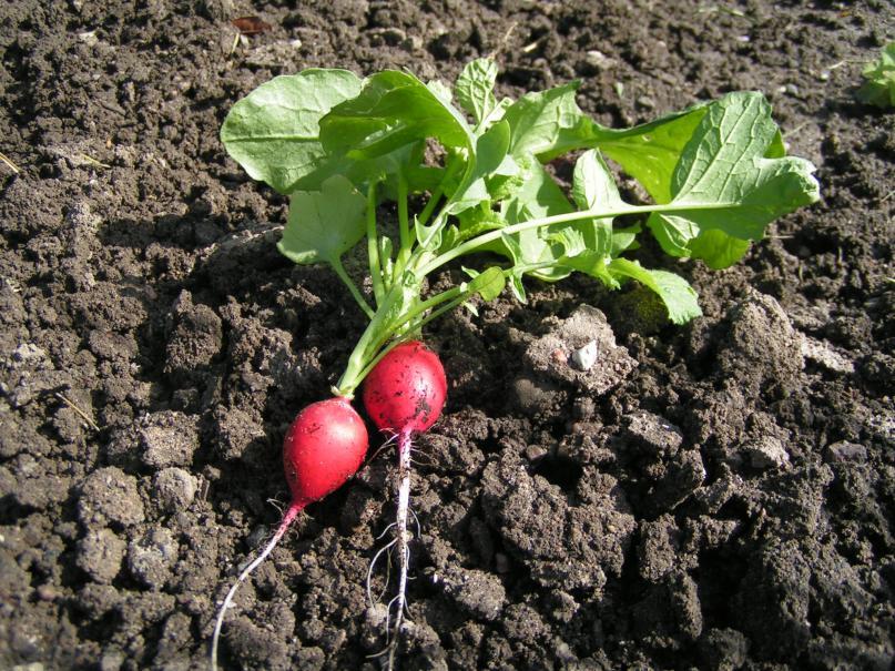 Semer les radis le magazine gamm vert - Quand cueillir les radis ...