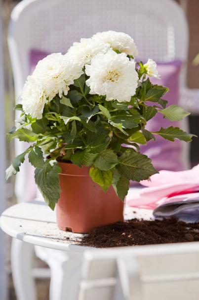 planter un dahlia en pot