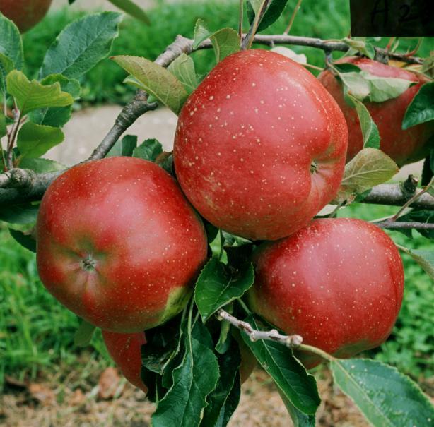 Eclaircir les fruits du pommier le magazine gamm vert - Pommier du japon fruit ...