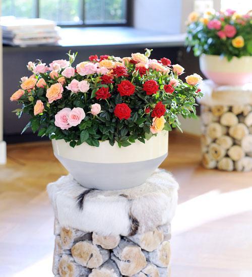 Cultivez un rosier en pot sur un balcon le magazine for Comment arroser un rosier en pot