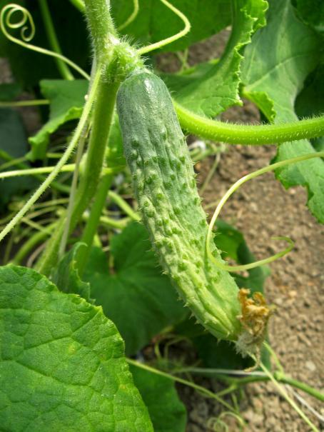 Semer et planter les cornichons le magazine gamm vert - Variete de cornichon ...