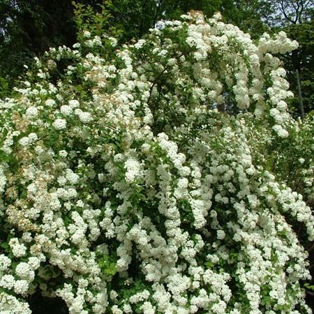 Spiree Plante D Exterieur Gamm Vert