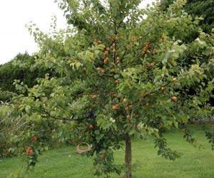 Planter les arbres fruitiers gamm vert - Quand planter un arbre fruitier ...